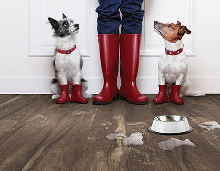Luxury vinyl roomscene. Two dogs and one person in matching red boots